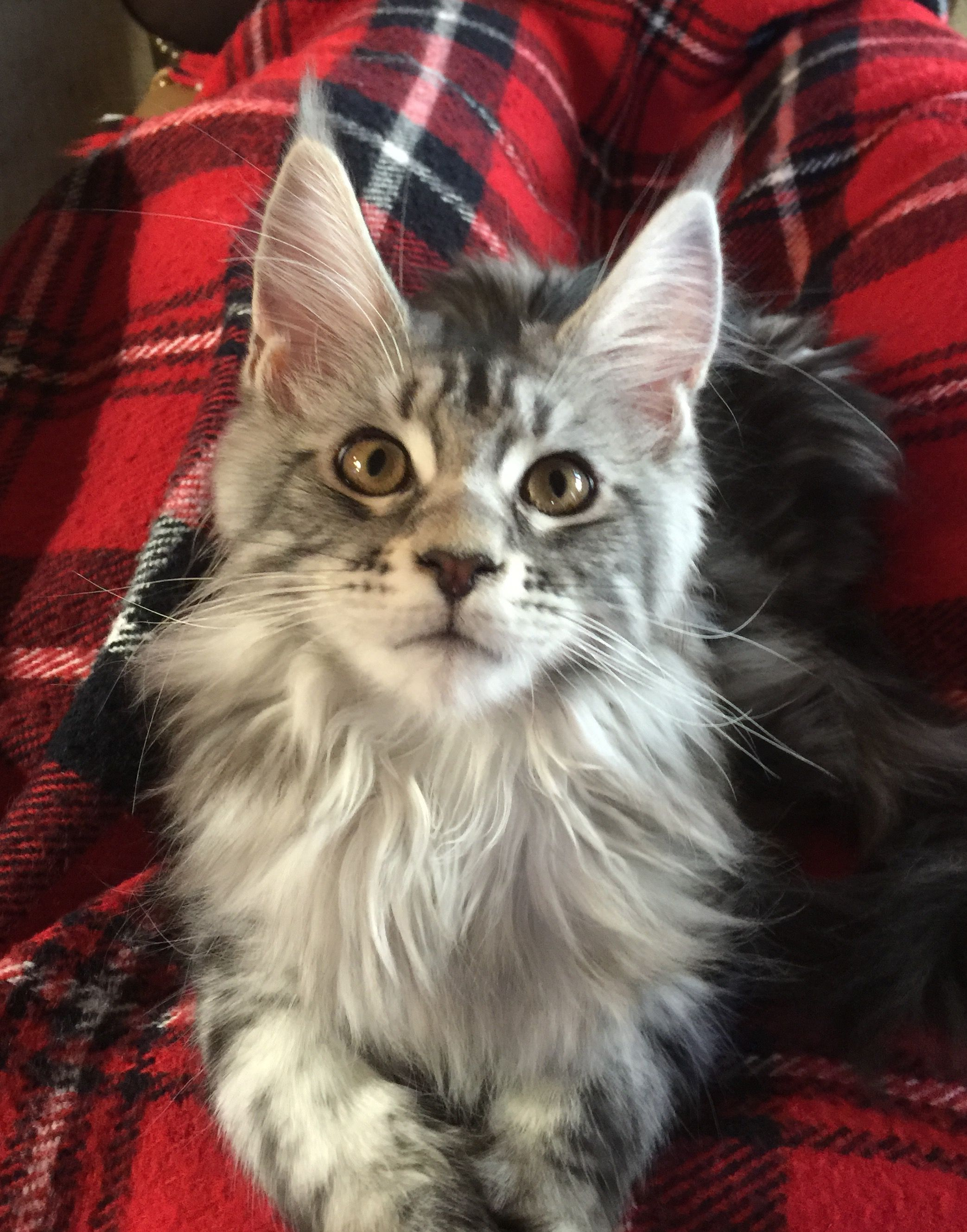 Maine Coon Kittens Jacksonville Fl : maine, kittens, jacksonville, Animal