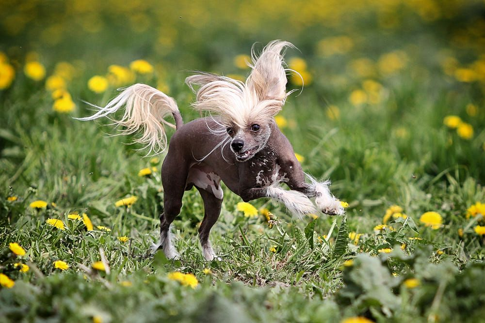 Chinese Crested Dog 500px