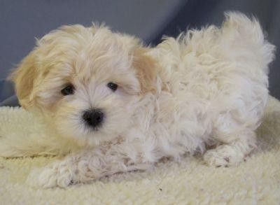 Maltipoo Puppy I Have Been Dreaming About Getting This Dog For 5