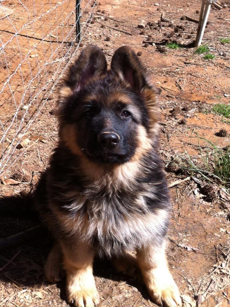 King Shepherd Dog Photo Kings Of St Francis King Shepherd