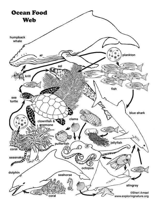 Ocean Food Web Coloring Page Ocean Food Web Food Web Activities Food Web