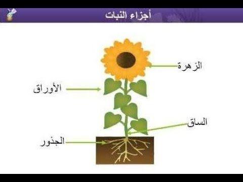 أجزاء النبات علوم الصف الثالث الابتدائي الفصل الأول منهج السعودية نفهم دروس مجانية Youtube Teach Arabic Science For Kids Learning Arabic