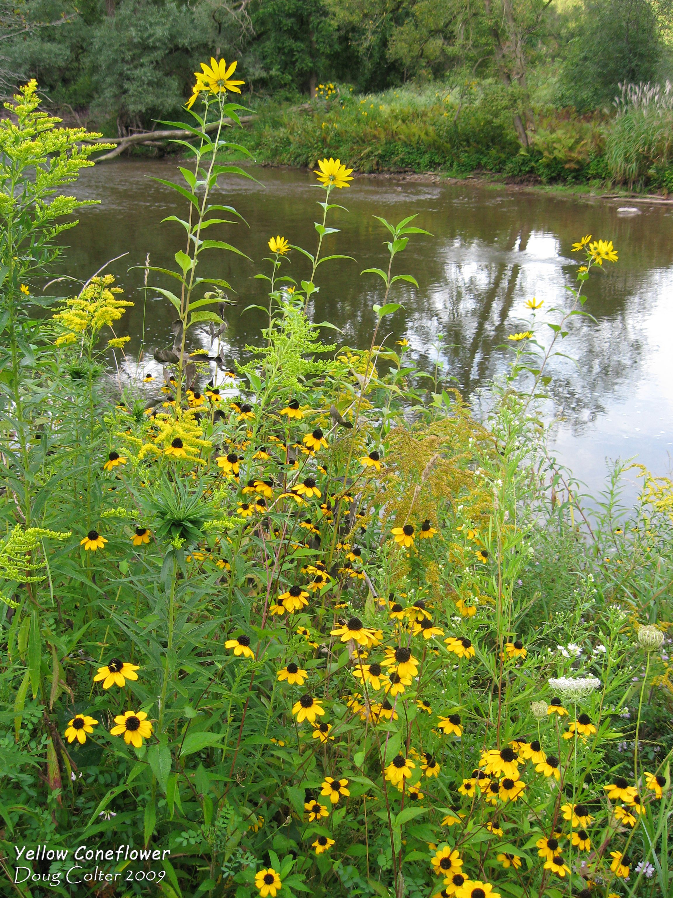 Yellow coneflower ratibida pinnata family aster asteraceae asteraceae habitat wet thickets meadows riversides height 4 feet flower size the daisy like composite flowers occur at the apex of the tall izmirmasajfo Gallery