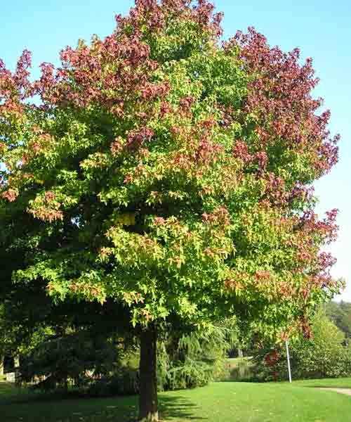 All About Shade Trees Best Shade Trees Shade Trees Trees To Plant