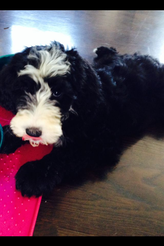 Sheepadoodle Minnie Plunkett From Feathers And Fleece Farm Lexington