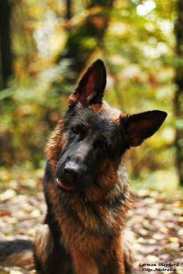 Pin auf German Shepherd