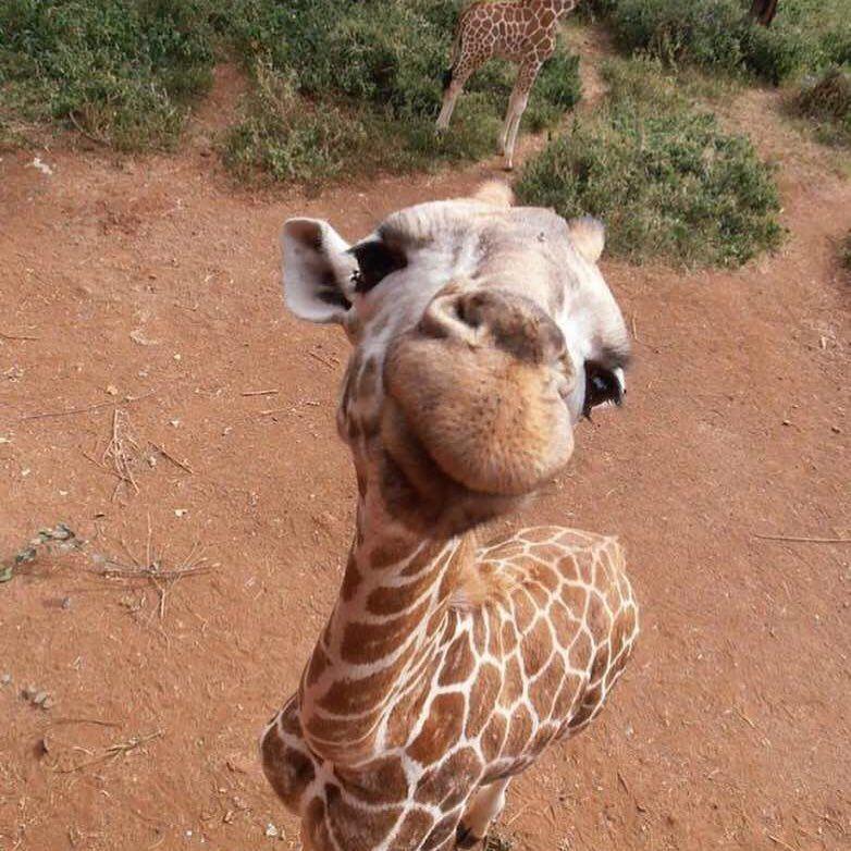 Curious giraffe!   stinkin\' cute   Pinterest   Jirafa, Animales y ...