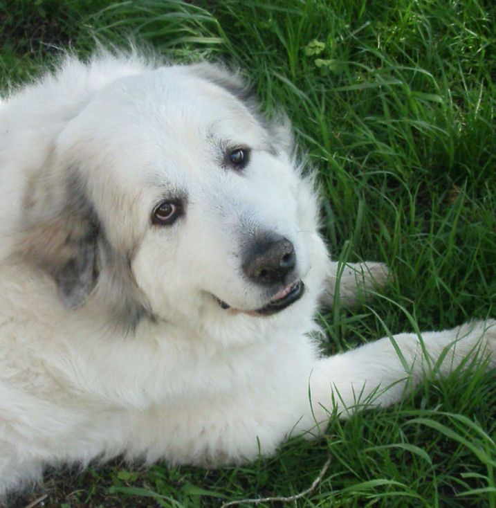 Great Pyrenees Aka Cooley My Babyboy Great Pyrenees Top Dog