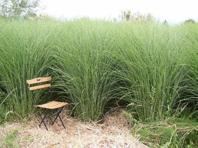 Le miscanthus une vivace multi t ches et tr s for Plante verte vivace exterieur