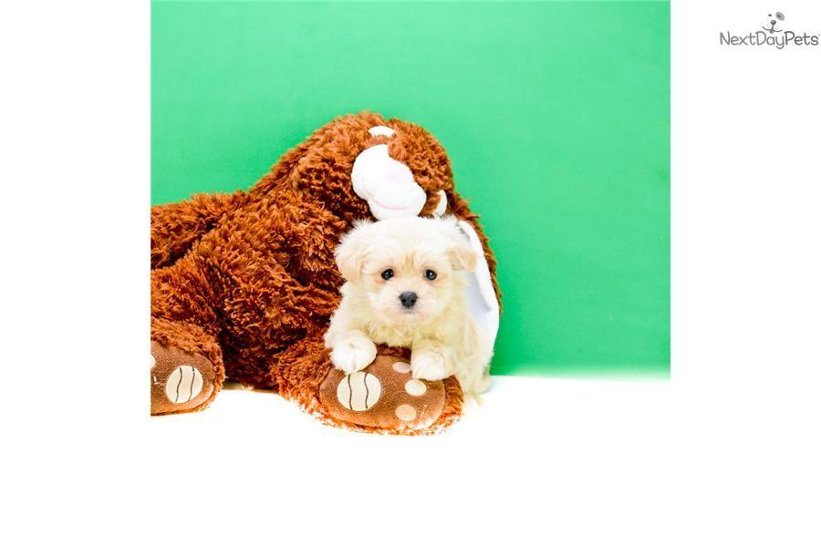 Malti Poo Maltipoo Puppy For Sale Near Columbus Ohio 0cd4b361