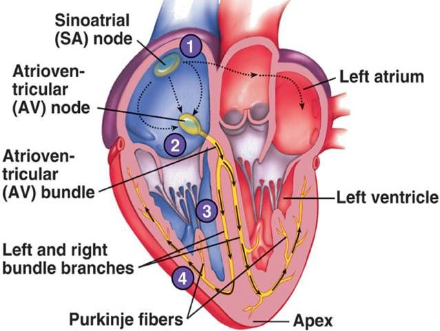 Electrical Impulses Through The Heart Cardiovascular System Bundle Branch Block Physiology