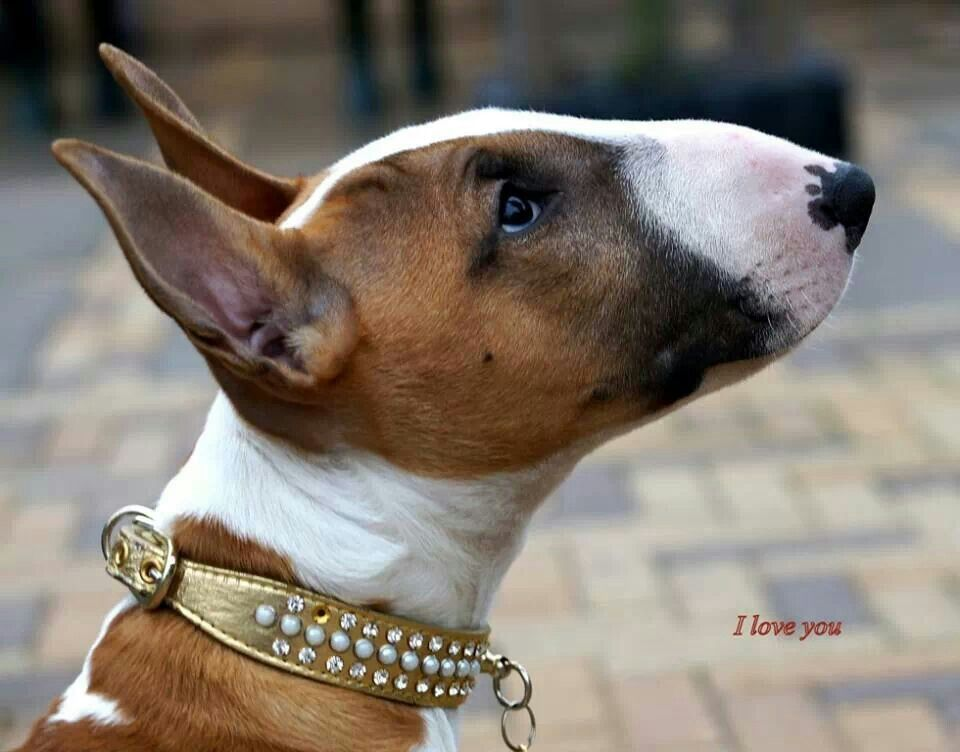 pretty #Bully #Dog