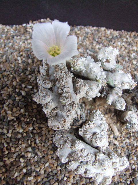 Monsonia peniculinum Rosh Pinah | Cactus & Succulents ...