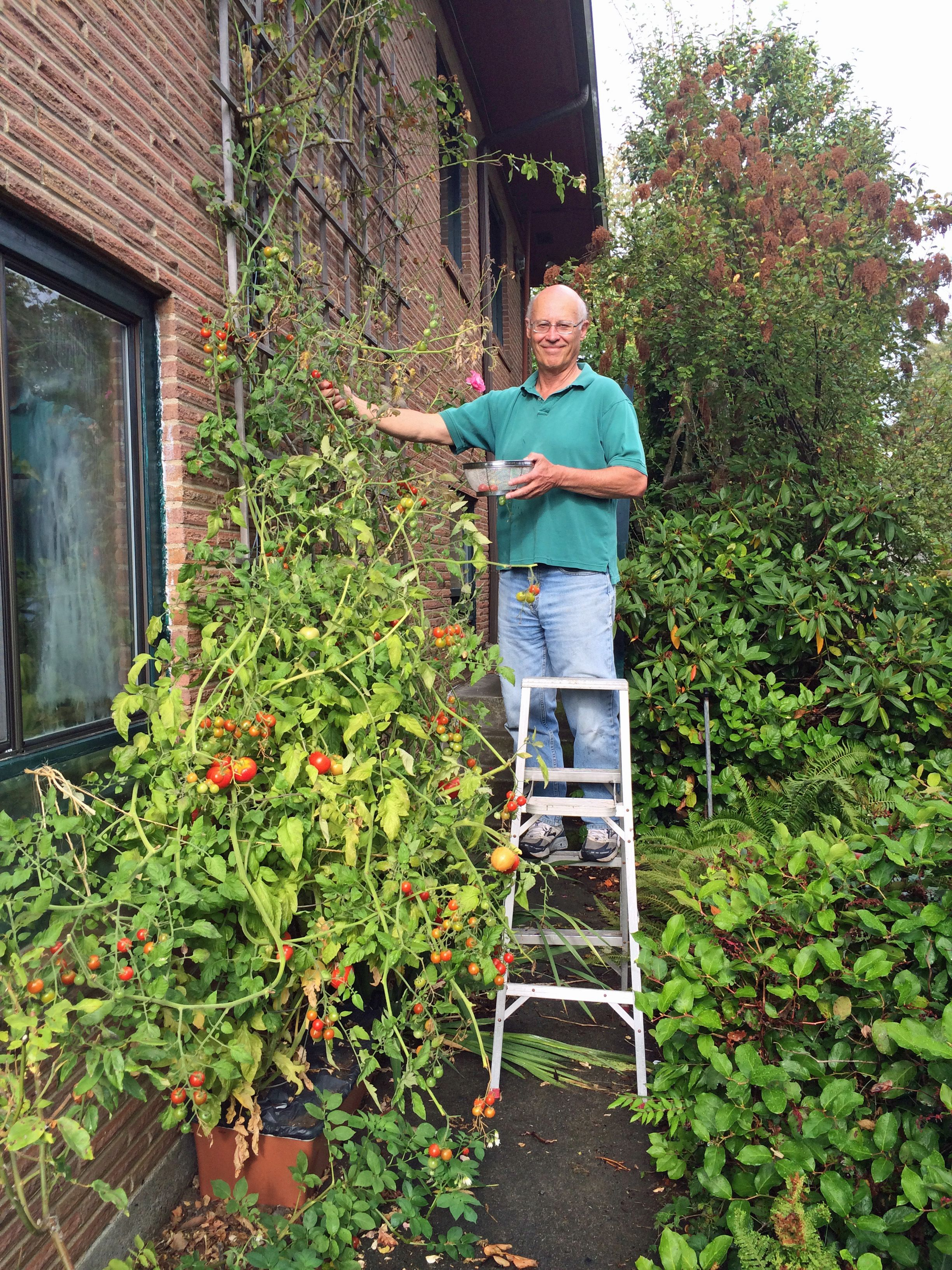 We Need A Ladder To Harvest Sweet 100 Cherry Tomatoes From Our 9 Foot Plant Thanks Earthbox