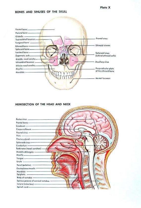Human Anatomy Print The Skull Head And Neck The Ear The Eye