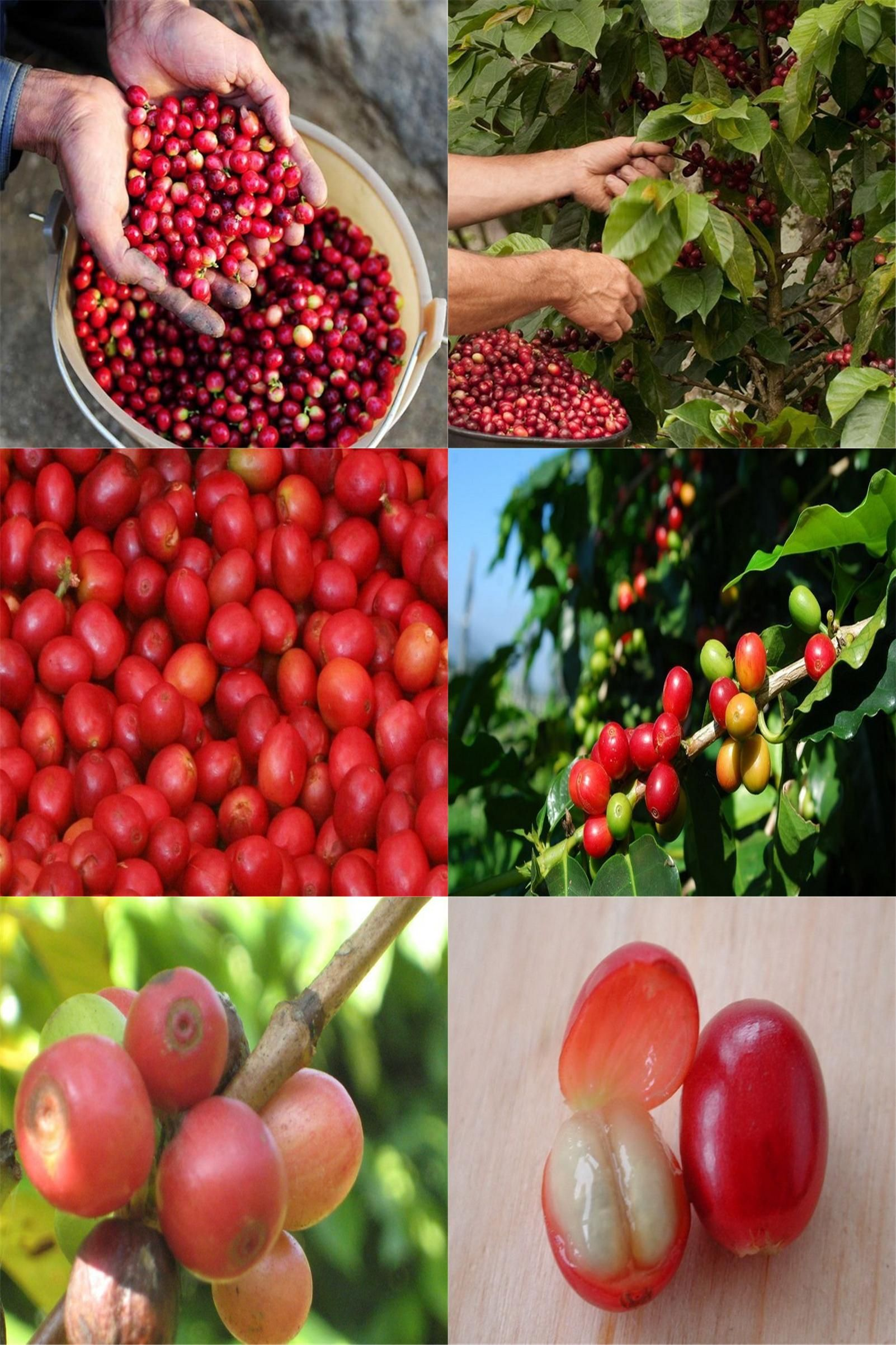 Visit To Buy Coffee Bean Seeds Arabica Coffee Plant Coffea Catura Arabica Seeds 5seeds Lot Advertisement Coffee Plant Arabica Coffee Buy Coffee Beans
