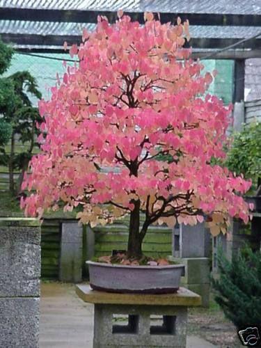 Bonsai japanese katsura cercidiphyllum japonicum for Indoor japanese garden plants