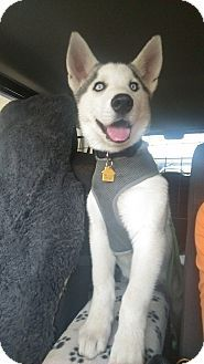Los Angeles Ca Siberian Husky Meet Kashi A Puppy For Adoption