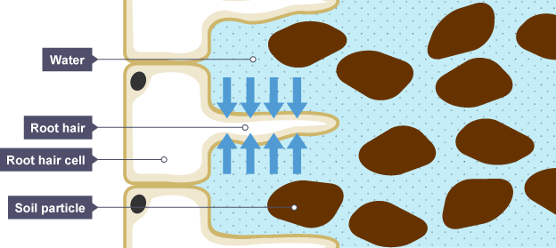 Shows a root hair cell the water can pass through the thin cell shows a root hair cell the water can pass through the thin cell wall of the root hair ccuart Choice Image