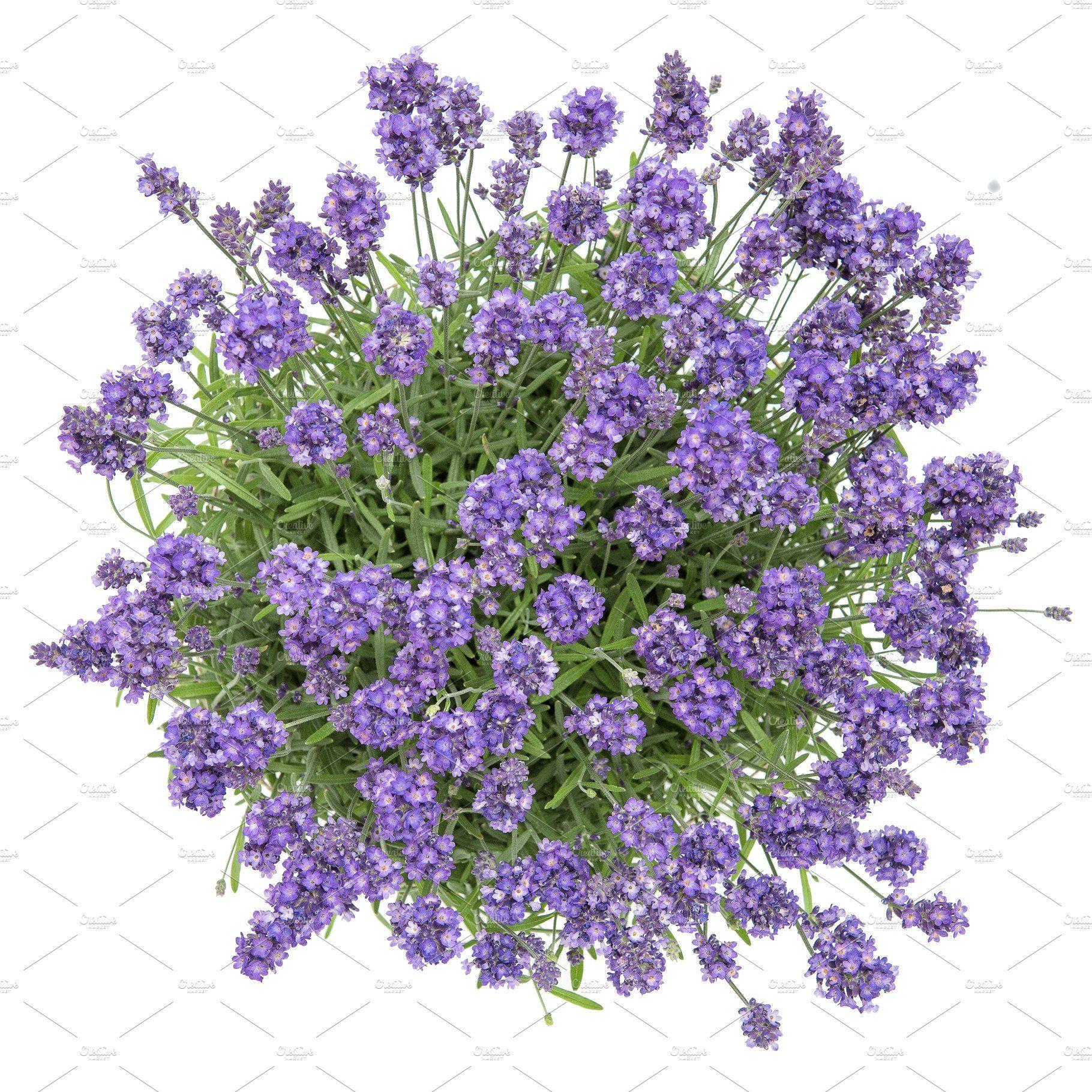 Lavender Flowers Bouquet White Back Lavender Plant Trees Top View Lavender Flowers