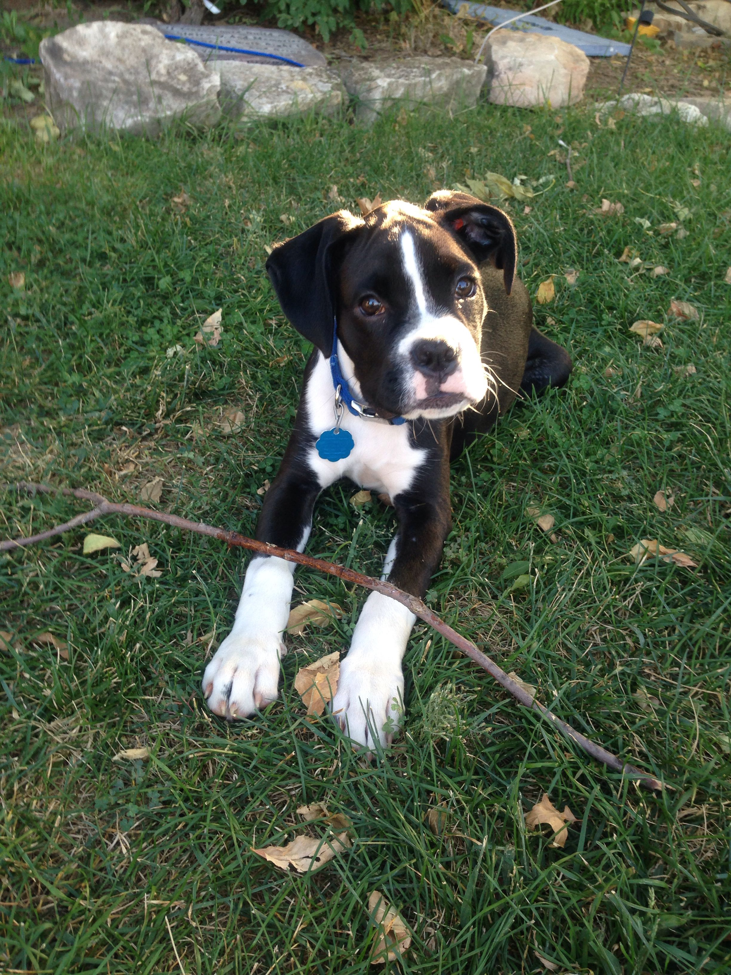 Flashy Reversed Sealed Brindle Boxer Puppy Love Brindle Boxer