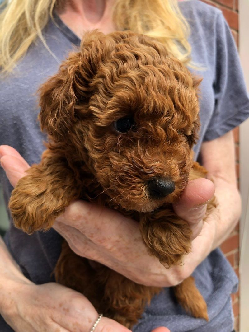 Toy Poodle Puppies Ready Now For Sale Adoption From South