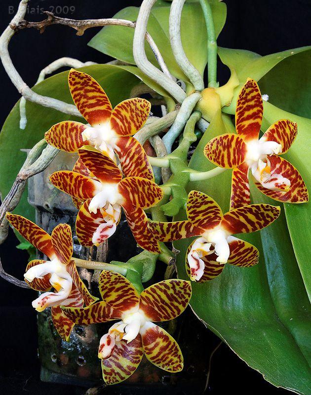20 Phalaenopsis Amboinensis Anggrek Bulan Ambon Anggrek Bunga