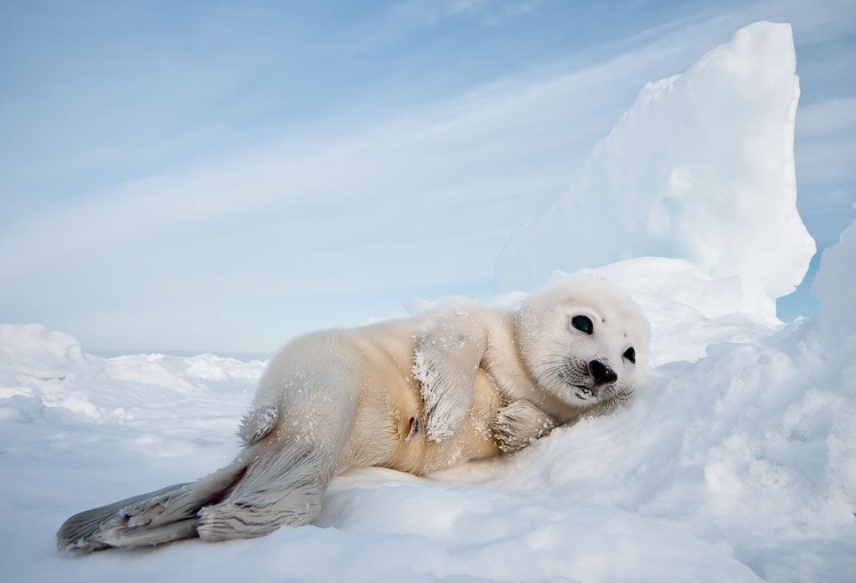 """""""A harp seal pup takes it easy on an ice floe."""" Smithsonian.com Editors Pick from the ongoing 10th Annual Photo Contest. Photo of the Day: September 10, 2012. Photo by Gunther Riehle."""