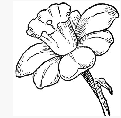 Pretty Black White Drawing Of A Daff Frhlingsblumen Spring