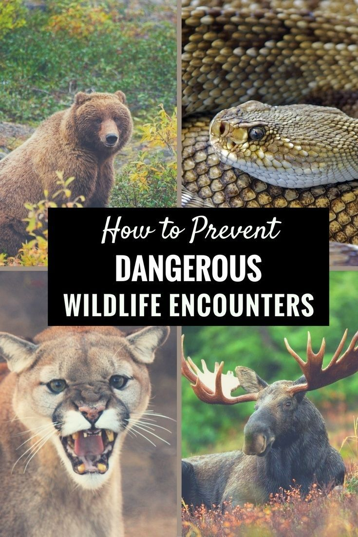 Prevent dangerous wildlife encounters. Learn wildlife safety tips & what to do if you are attacked by a bear, snake, mountain lion or moose while hiking.