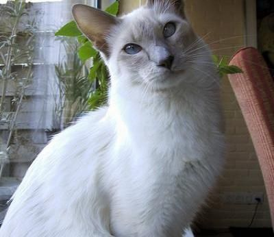 Balinese Cats Balinese Cat Breed Info Pictures Petmd Balinese Cat Kitten Breeds Cat Breeds