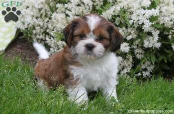 Puppies for Sale Morkie puppies, Lancaster puppies, Morkie