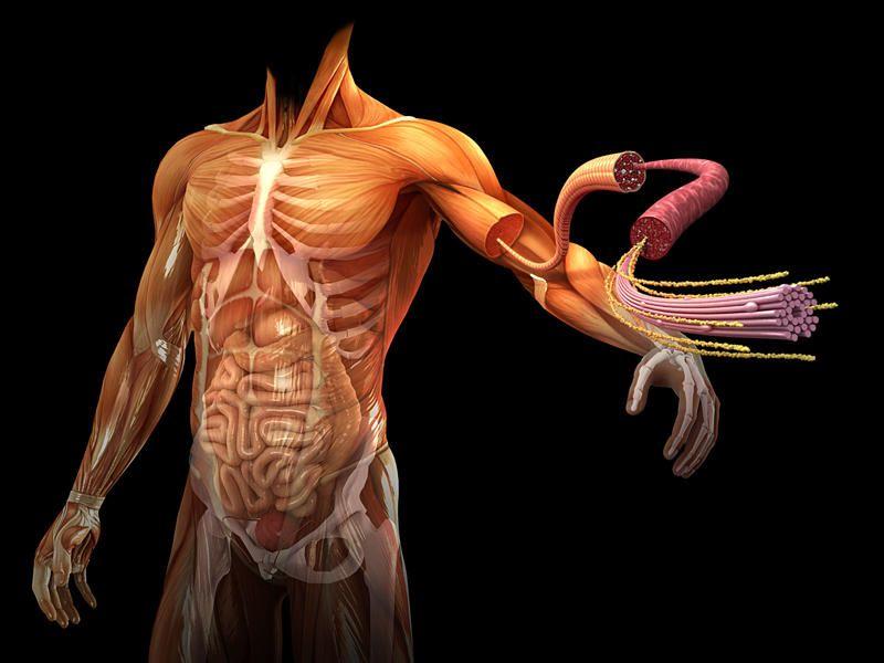 cuerpo humano 3d organos - Buscar con Google | Cuerpo Humano | Pinterest