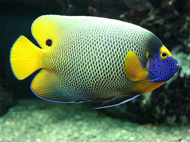 Blue Faced Angelfish 3 My Favorite Saltwater Fish Angel Fish Marine Fish Best Aquarium Fish