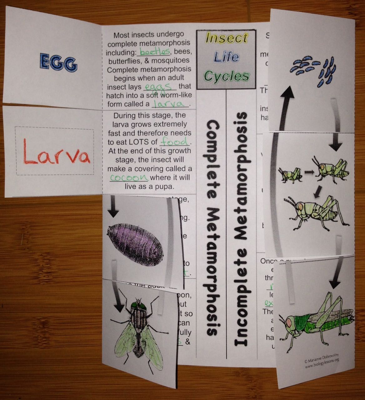 Complete And Incomplete Metamorphosis Foldable Life