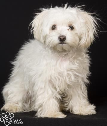 Adopt Fifi Feefee On Petfinder Maltese Dogs Cute Dogs And Puppies Maltese