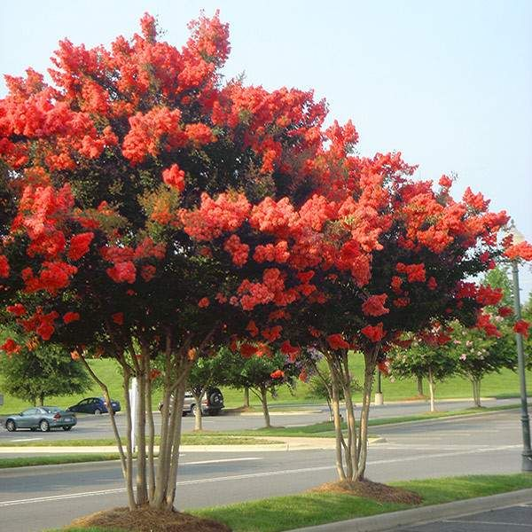 small red tree flowering trees small ornamental trees perfect for your