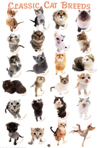 Cat Breeds Posters Allposters Com In 2020 Cat Breeds With Pictures Cat Breeds Types Of Cats