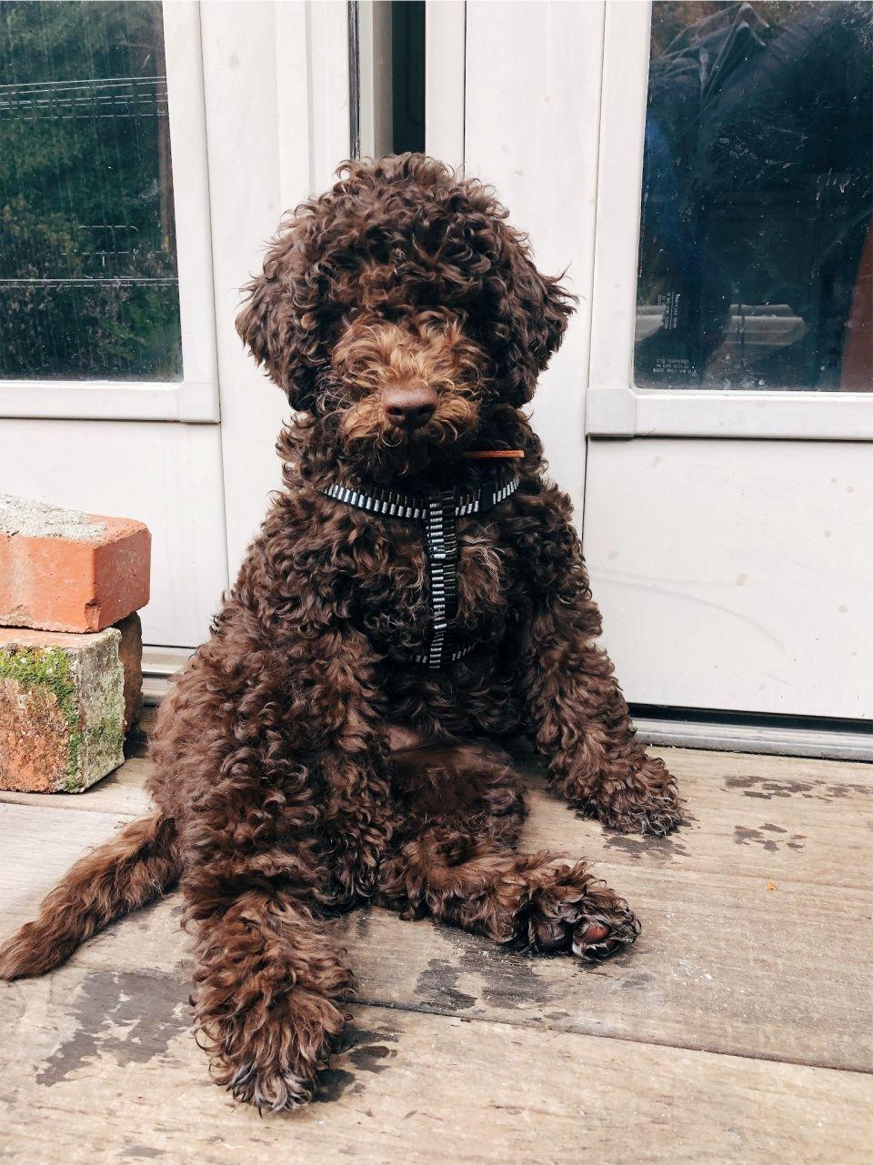 Maisiebythebay Hamlamb Vsco In 2020 Cockapoo Dog Lagotto Romagnolo Puppy Poodle Dog