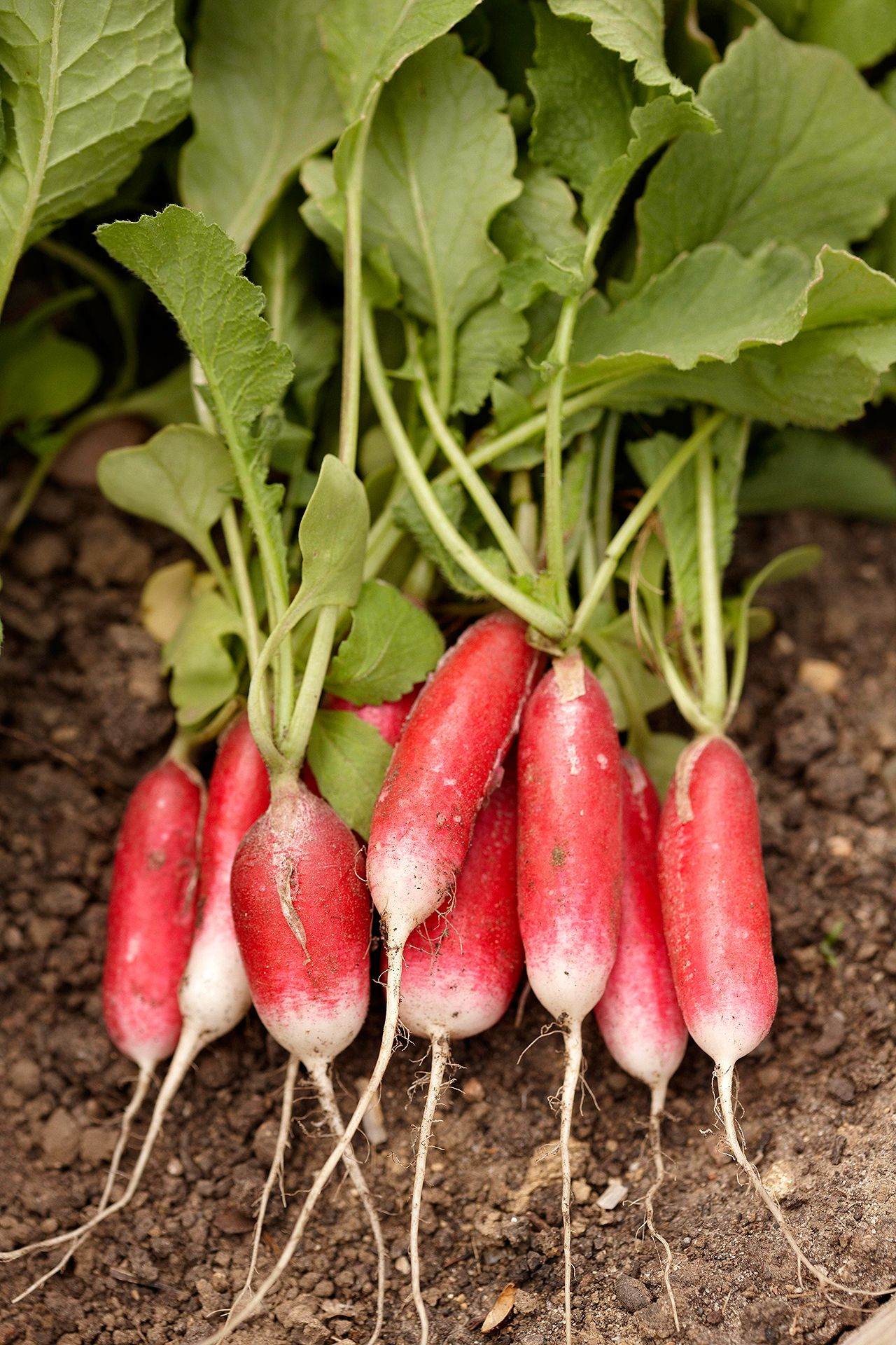 Radishes Are Fast Growing Vegetable Plants That Are Easy To Grow Making Them A Great Plant To G Growing Vegetables Fast Growing Vegetables Planting Vegetables
