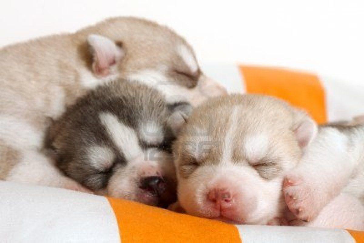 Newborn Siberian Husky Puppies Siberianhusky Newborn Puppies