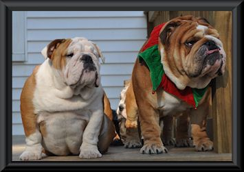 R D Bulldogs Home Of George Bulldog Breeder Located In