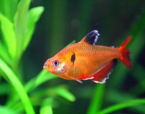 Serpae Tetra Buy Online Tetra Fish Tropical Aquarium Aquarium