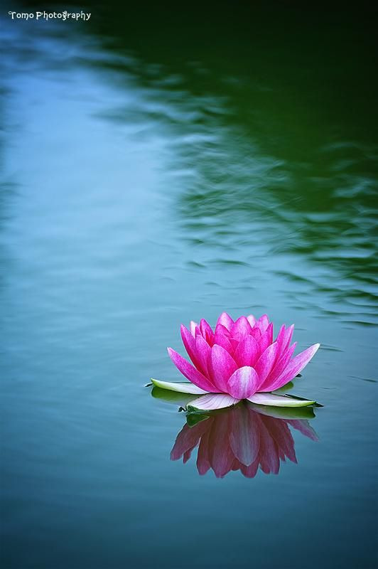 Water Lily II by WindyLife on DeviantArt