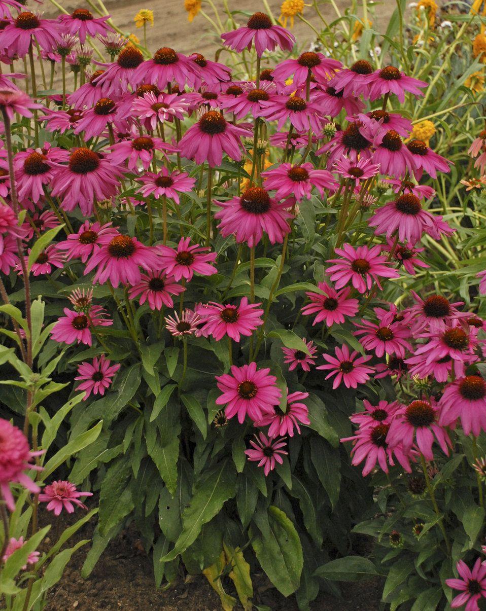 Butterfly Purple Emperor Coneflower Echinacea Hybrid Purple Plants Echinacea Perennials