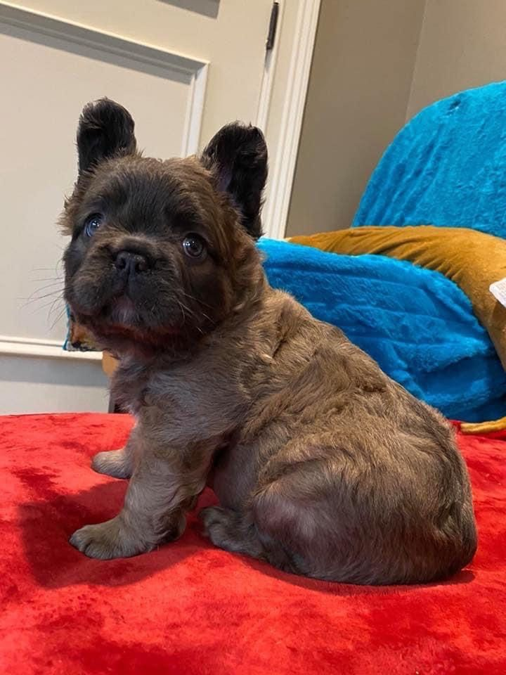Fluffy Frenchie 💖 in 2020 Cute baby animals, Frenchie