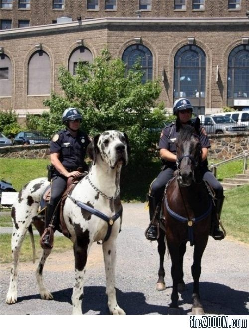 Police Riding A Great Dane Puppy Big Dog Breeds Huge Dogs