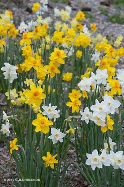 A Photograph Of The The Spring Flowering Daffodil Bulbs Cultivar