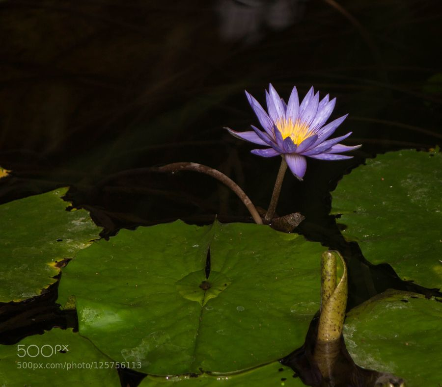 water lily by neupeters #nature