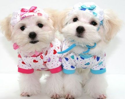 Two twin puppies!!! Boy and girl matching outfits for ...